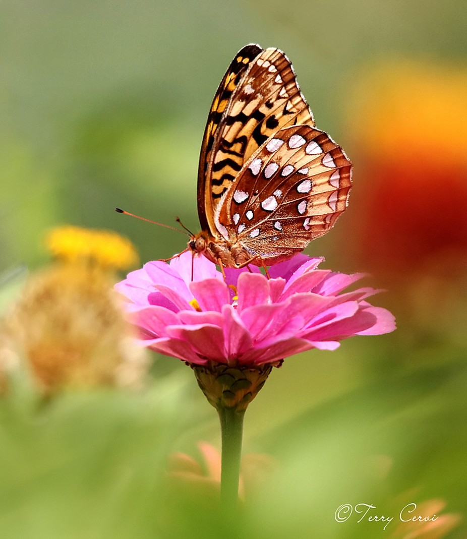 Great Spangled Fritillary by terryc - Beautiful Butterflies Photo Contest