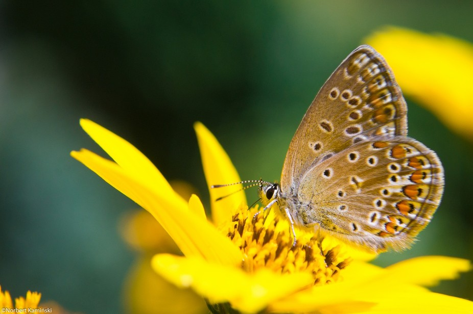 Collecting pollen by butterfly