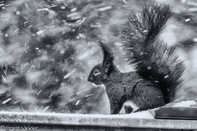 The Squirrel And The Blizzard