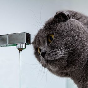 Scottish Fold cat is a friend of mine likes to drink water from the tap in the kitchen