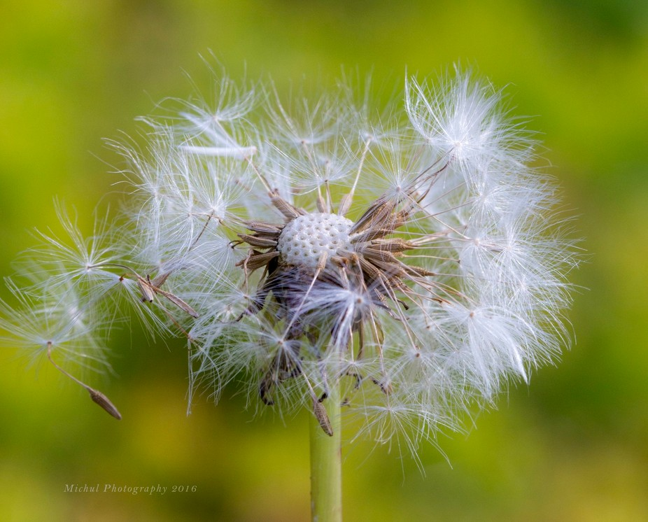 A beautiful dandelion puff coming to the end of it's life