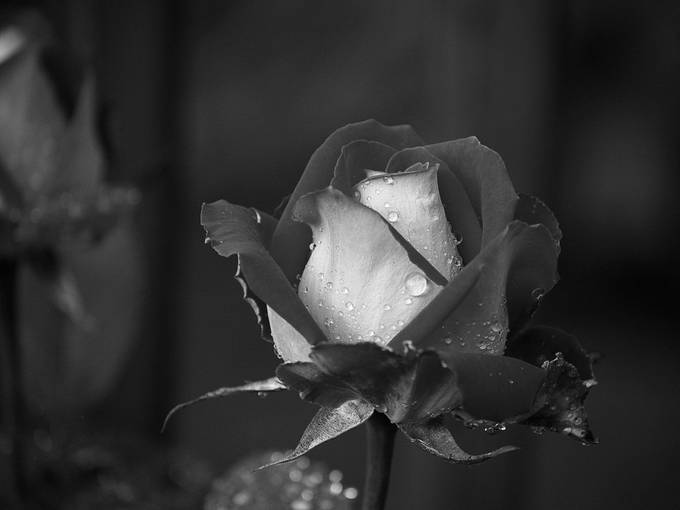 Taken with Nikon D50 using AF-S Nikkor 18-55mm 1:3.5-5.6 G lens. Converted to black and white and resized with Photoshop Elements 14.