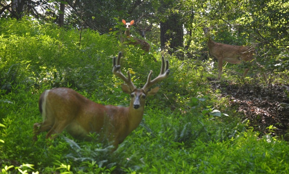 This was taken in Yorktown, Va. July 28,2016. The buck in front is turning into a 10 point. The e...