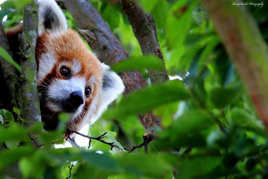 Hiding Panda