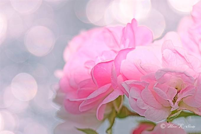 tiny pink roses by mararsirako - Pink Photo Contest
