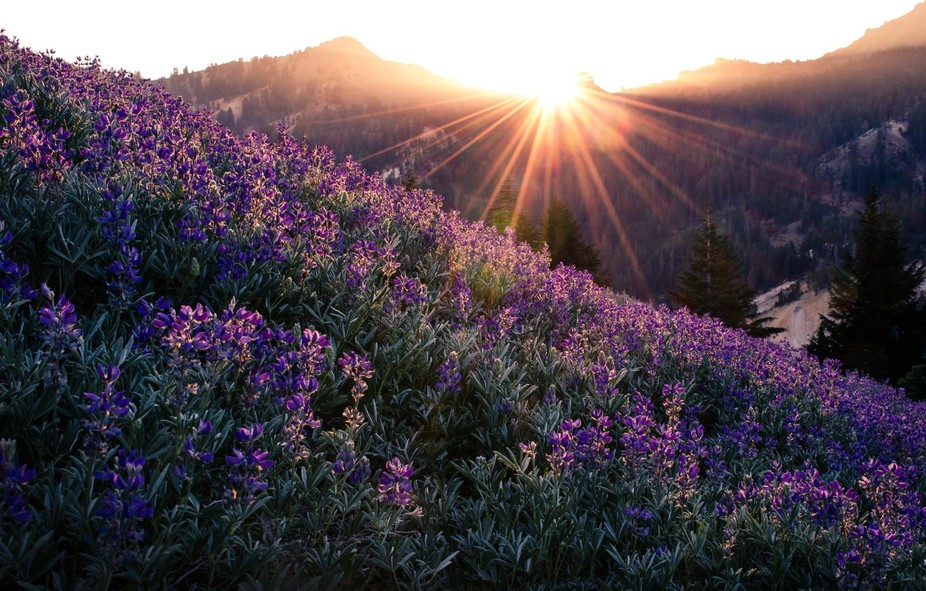 Sunlight on lupine in Lassen National Park