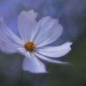 Dawning cosmos soft lit by the cool morning light dancing in the wind, swaying softly.
