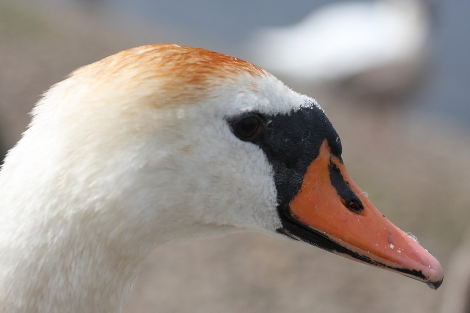 This swan was not to bothered how close to it  people all around was feeding the swans so this ma...