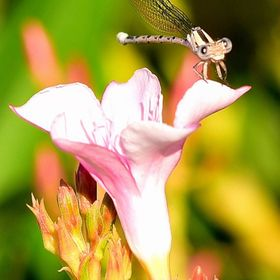 Clear Wing Pond Damselfly on a Pink Flower