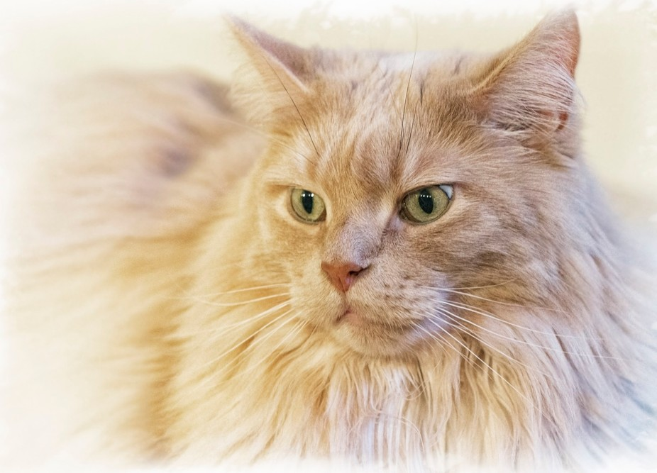 Pensive Maine Coon