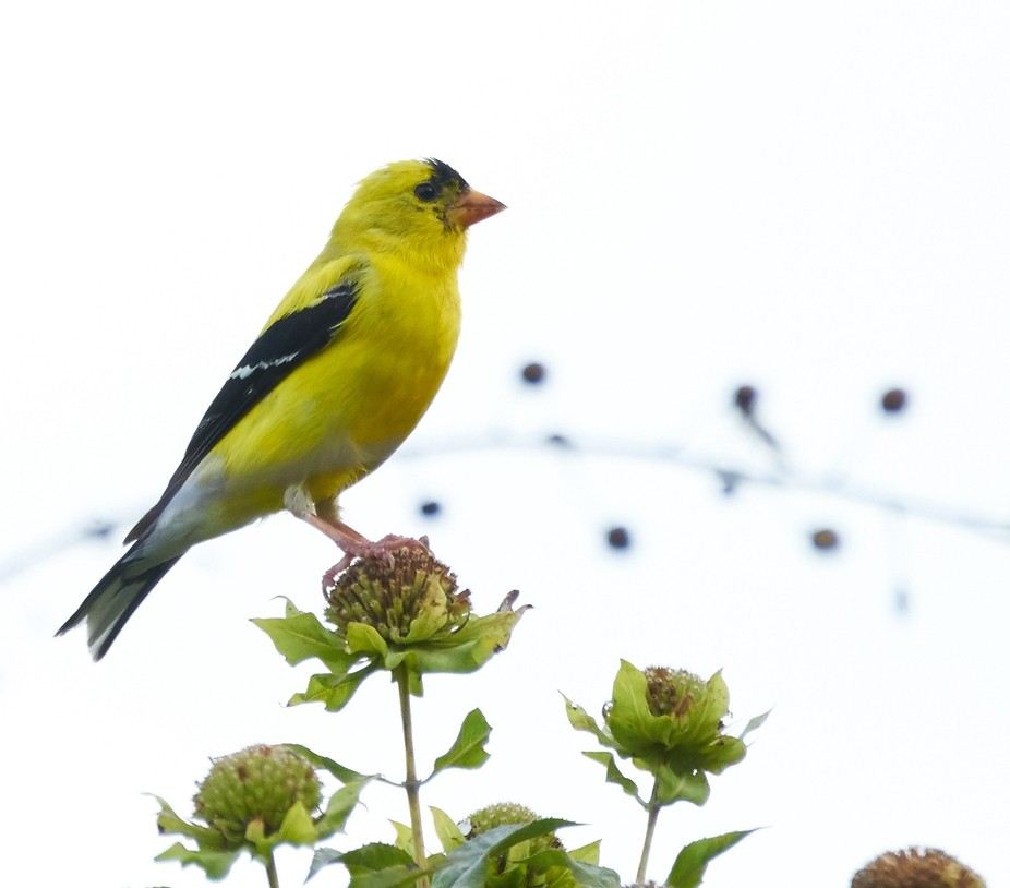 Male American Goldfinch: The state bird of my great state of New Jersey  (oh and Idaho)