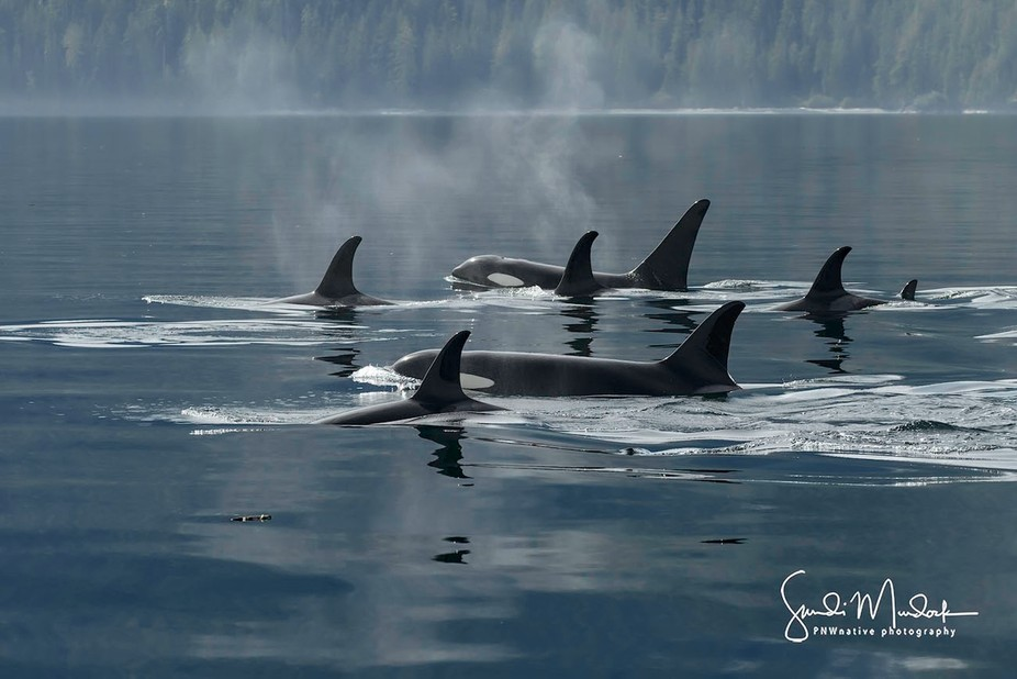 Serenity - I15s, Northern Resident Orcas