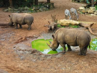 Rhino, Brevard Zoo, Florida.