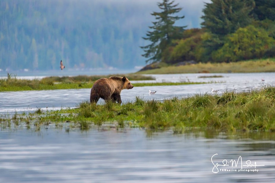 Life in the Estuary - Coastal Brown Bear