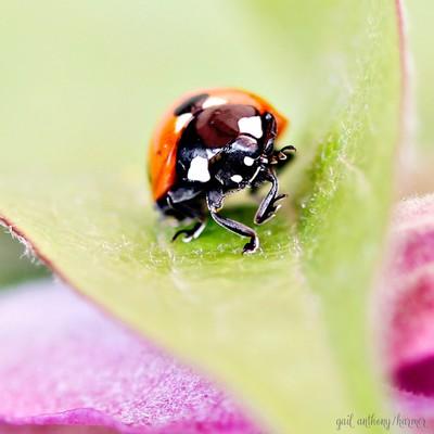 Jitterbug LadyBug