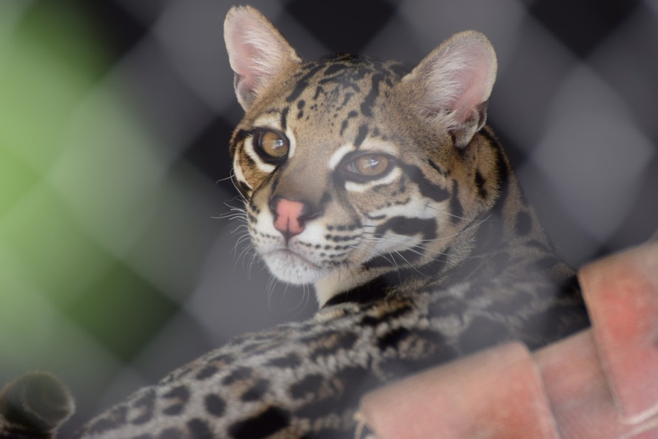 Taken at the El Paso Zoo, El Paso, Texas. This ocelot was resting in a rope cradle when it lifted...