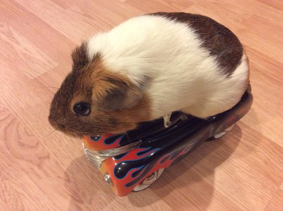 Hazel the guinea pig gets a new set of wheels!
