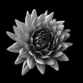 Single flower isolated in black and white