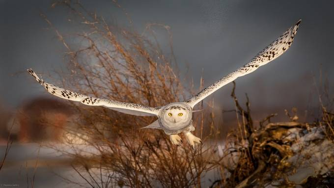 Snowy Owl, head on by DSCan - Only Owls Photo Contest
