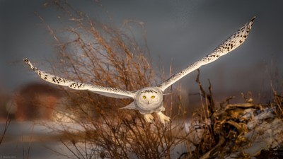 Snowy Owl, head on