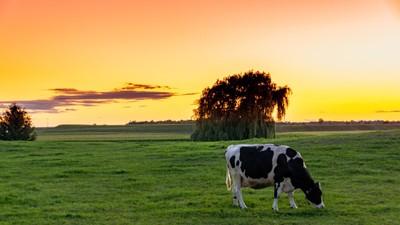 Sunset Cow
