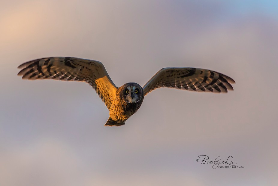 We were on this road one day at sunset, and from the other side of the road, this owl flies over....