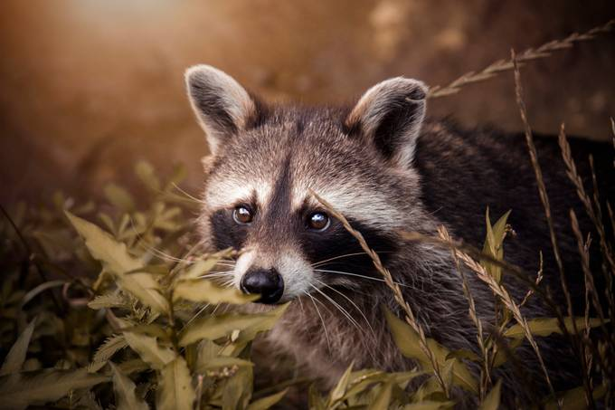Cute Racoon by dasBildprojekt - My Best Shot Photo Contest Vol 3