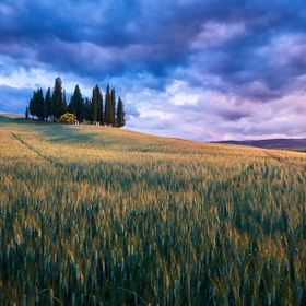 The famous cypress of San Quirico d'Orcia.