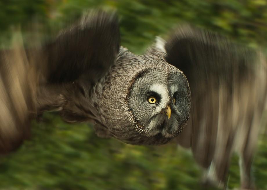 Grey Owl 5