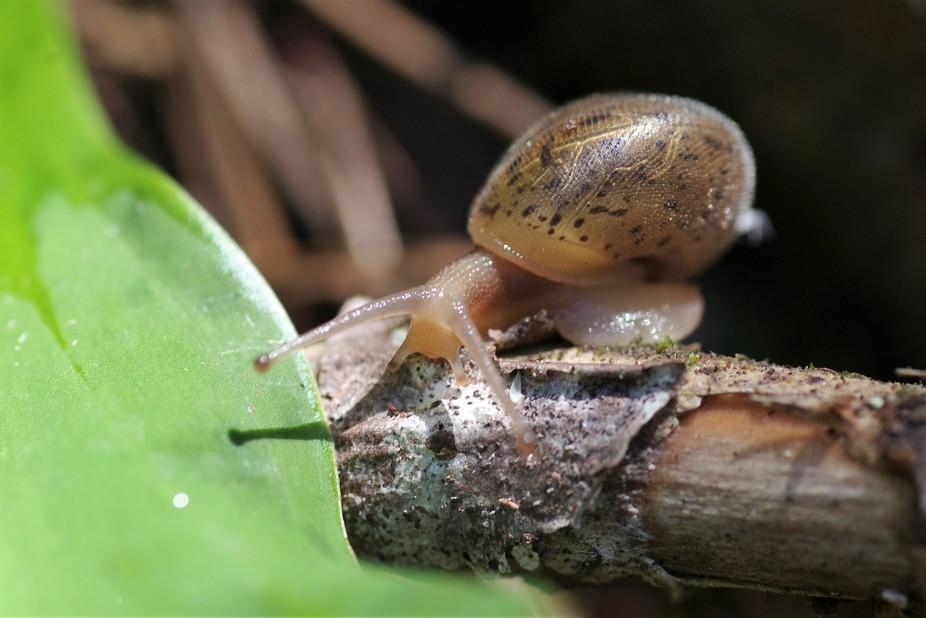 Rainforest Snail