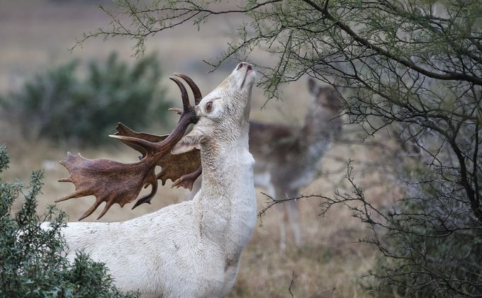 """""""Fallow Buck"""" by DeanSmithPhotography - The Nature Lover Photo Contest"""