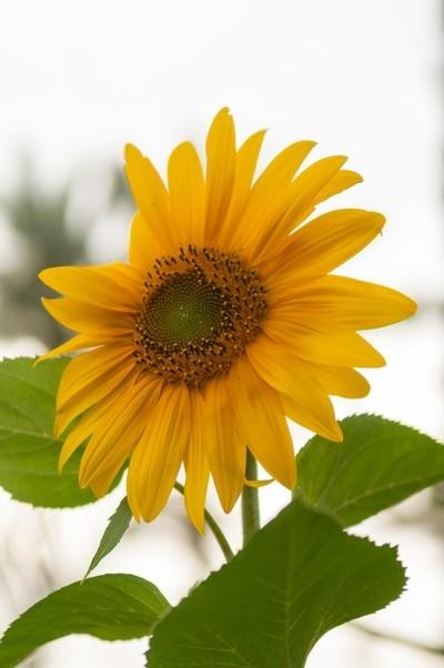 Beautiful Sun flower