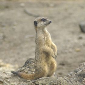 Taken at a local Zoo, I got this shot of the mischievous Meerkat as it was coming up time to eat.