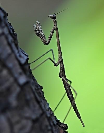 Lucky Praying Mantis