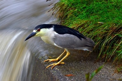 Night Heron on a Weir