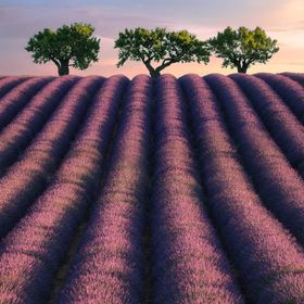 Breath of tranquility A amazing sunrise on the lavender field !!!