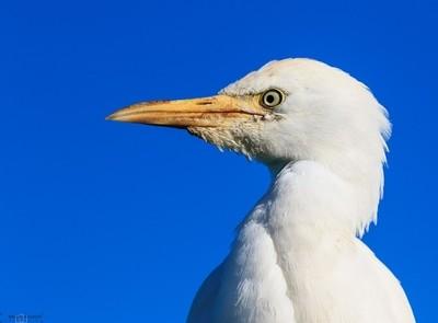 Western Cattle Egret © Brian Basson