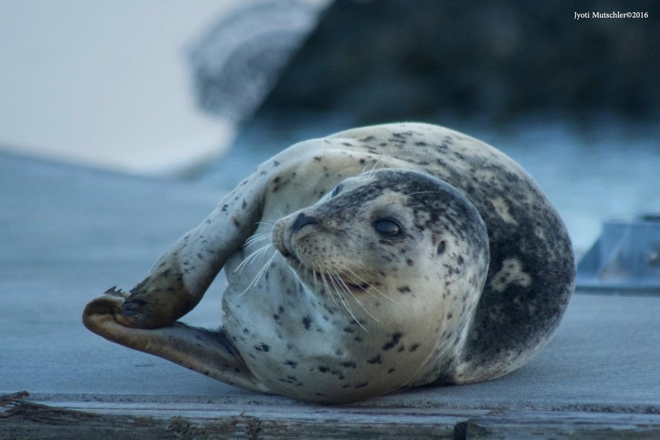 Walked right past this seal, turned around and had a little surprise when I spotted it slumbering...