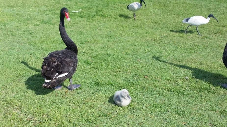 Beautiful baby swan with parents in Gympie Queensland.