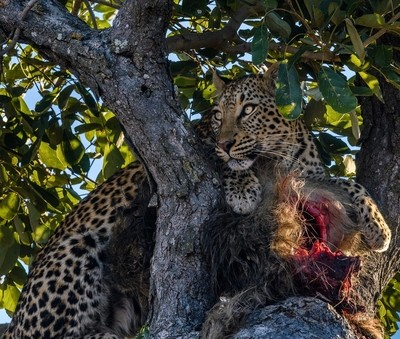 Leopard with his dinner in Botswana, Africa