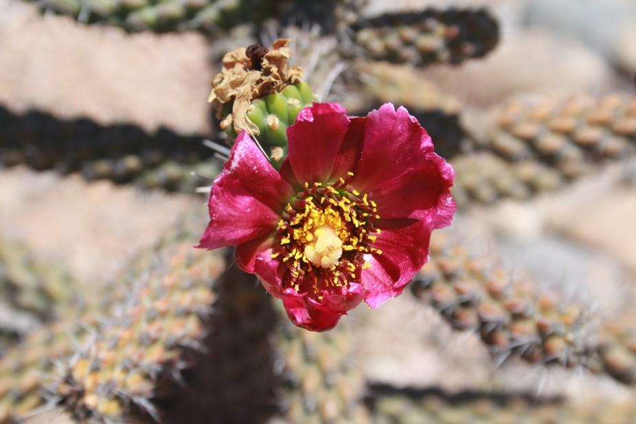 Cactus flower in Tombstone AZ