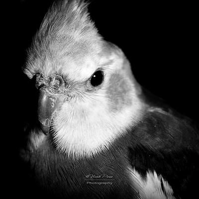 Cockatiel Portrait BW