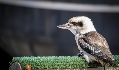 Kookaburra king fisher
