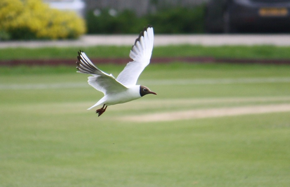 Watching cricket when distracted by this friendly scavenger
