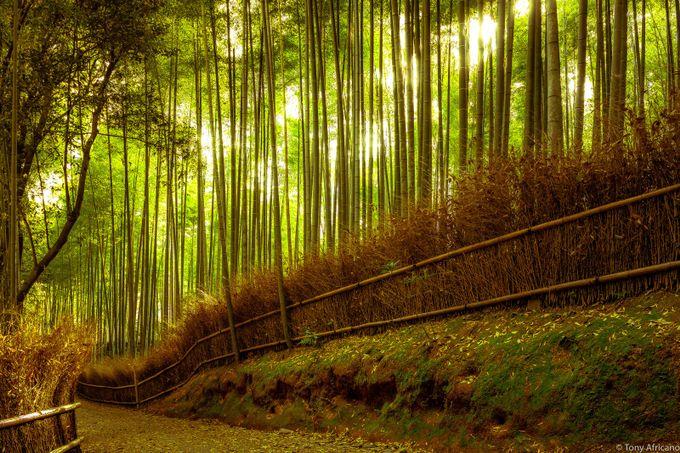 japan_bamboo forest_arashiyama_kyoto_03 by tonyafricano - The Magic Of Japan Photo Contest