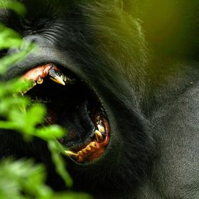 An adult male mountain gorilla displays his impressive canine teeth, which- being vegetarian- they use primarily for fighting.