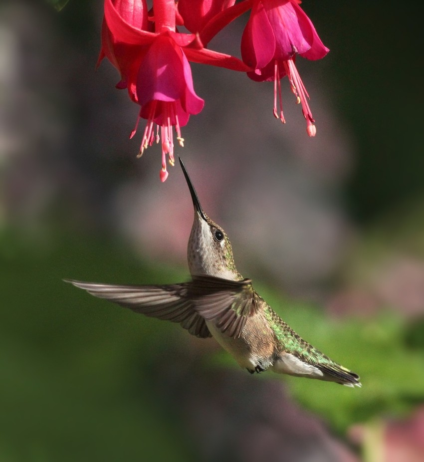 Ruby-throated Hummingbird by deannefortnam - Hummingbirds Photo Contest