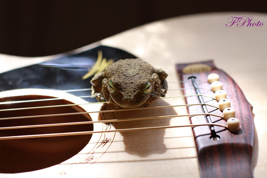 A frog on a Maton Guitar