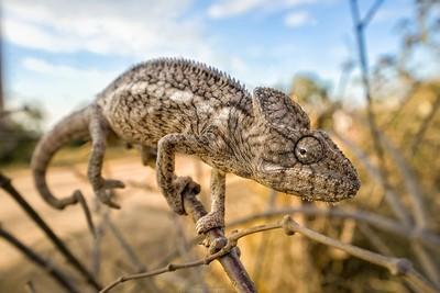 MadagascarChameleon
