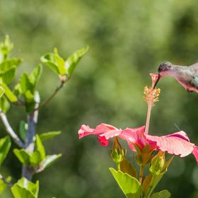 The hummers seems to be big fans of my hibiscus blooms.